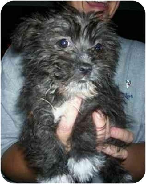 shih tzu west highland terrier mix ziggy adopted puppy wauseon oh shih tzu westie west highland white terrier mix