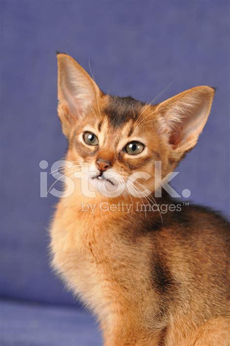 ruddy color abyssinian kitten ruddy color portrait stock photos