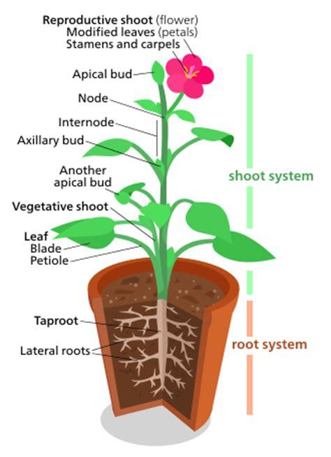 plant diagrams plant morphology