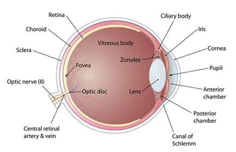 this is the interior of the inside part to the zoos i anatomy of the human eye inside the human eye