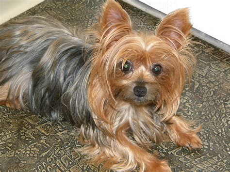 pet yorkie yorkie dogs www imgkid the image kid has it