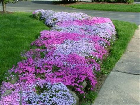 best plants for west side of house creeping phlox as a ground cover for the bed on the west side of the house which is