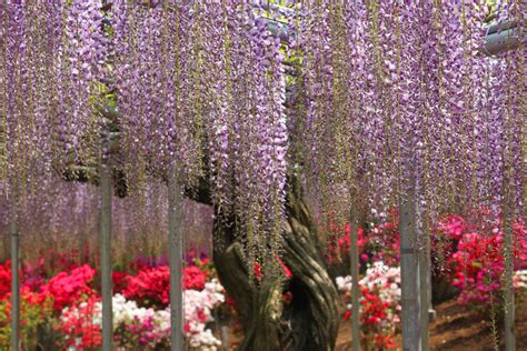 wisteria at ashikaga flower park tiptoeingworld ashikaga flower park japan two