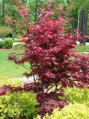 maple tree not choosing plants that will not harm children my construction blogmy construction