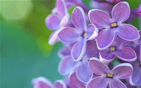 lilac flower lilac flower hd hd desktop wallpapers 4k hd