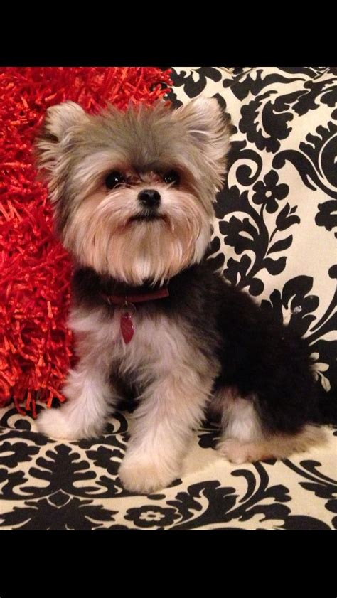 yorkie rescue mississippi 17 best images about yorkie pics on puppys and yorkies