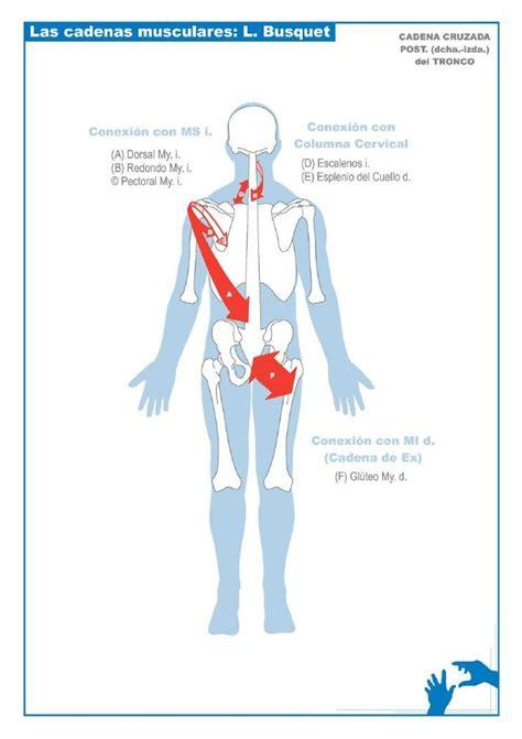 cadenas musculares anteriores esquemas cadenas musculares m 250 sculos pinterest