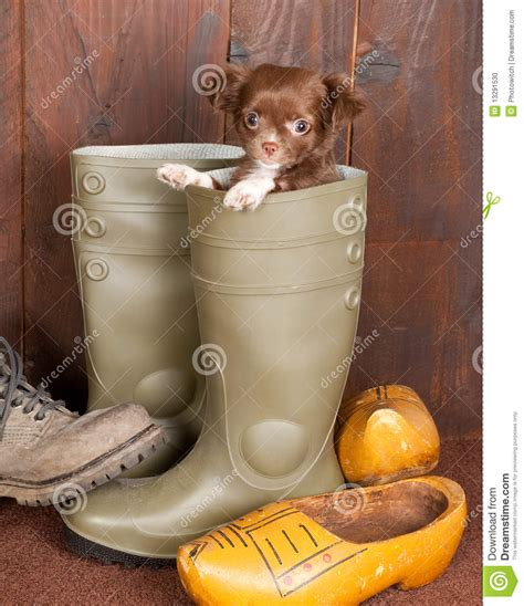 puppy boot c puppy in a boot stock photo image 13291530