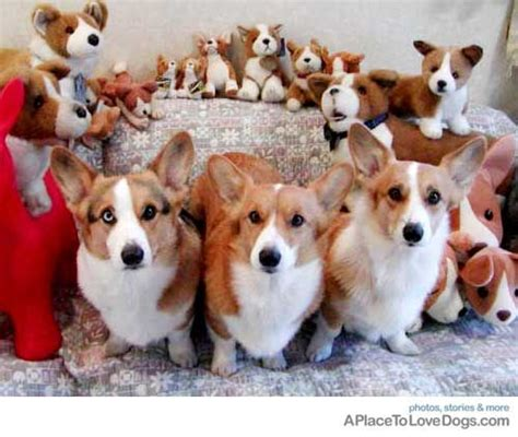 Suzy Puppy Bag 88 best images about for the of corgis on