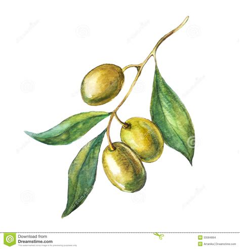 green olive branch stock illustration image of biological