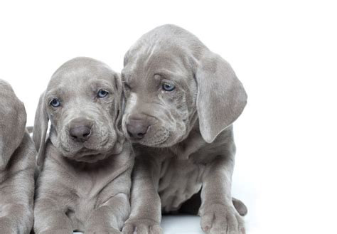 weimaraner puppies for sale oregon weimaraner puppies for sale akc puppyfinder