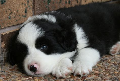 purebred border collie puppies for sale purebred border collies for sale 8 hd wallpaper dogbreedswallpapers