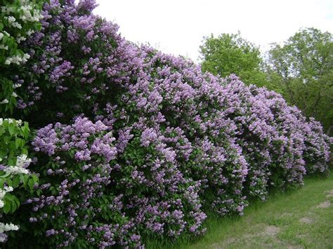 lilacs bush lilac bushes lilacs pinterest