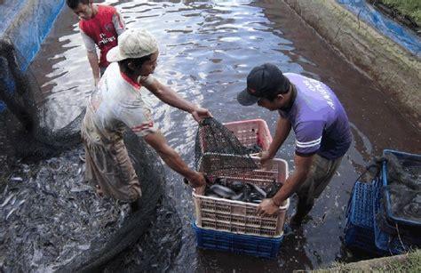 Lokasi Budidaya Lele Dan cara terlengkap budidaya ikan lele di kolam tembok