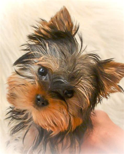 teacup yorkies for sale in tennessee cheap 25 best ideas about teacup yorkies for sale on yorkie dogs for sale