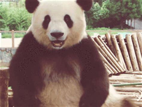 cutest panda gifs