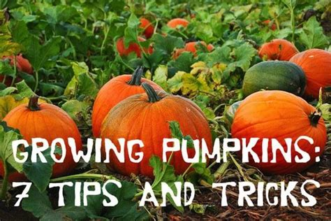 when to plant pumpkin seeds for 17 best images about pumpkins squash watermelons on