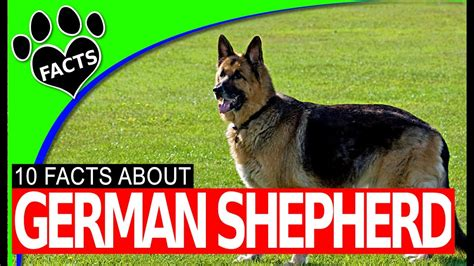 dogs 101 german shepherd dogs 101 german shepherd facts information most popular breeds animal facts