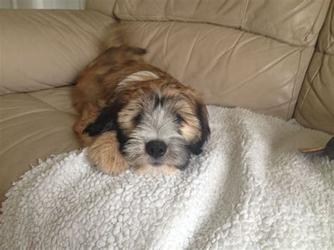 terrier puppies for sale beautiful tibetan terrier puppies for sale cambridge cambridgeshire pets4homes