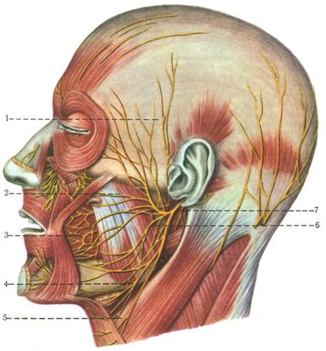 sextant meaning in dentistry 25 best facial nerve branches ideas on pinterest facial