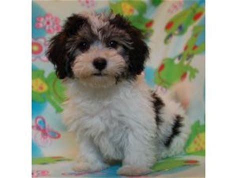 havanese iowa related keywords suggestions for havanese puppies sale iowa