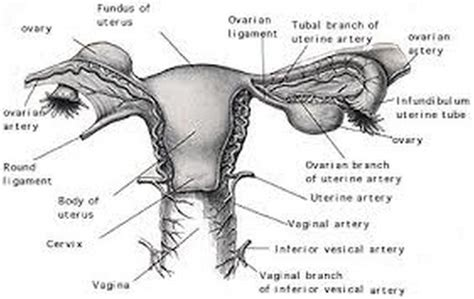 anatomy of the uterus with diagram ovaries and uterus diagram ovaries diagram labeled ovaries
