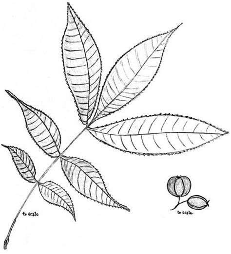 hickory leaf coloring page carya spp hickory thickshelled paleoethnobotany