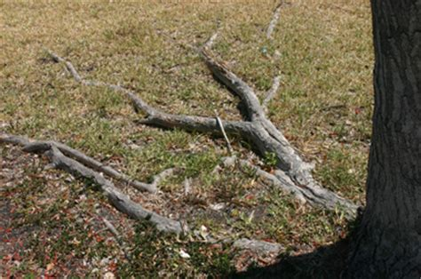 maple tree roots surface ask the arborist how do i address tree surface roots