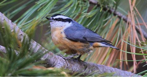 bird of the week the red breasted nuthatch pajarito