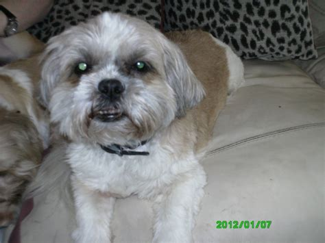 white and brown shih tzu brown and white shih tzu st helens merseyside pets4homes