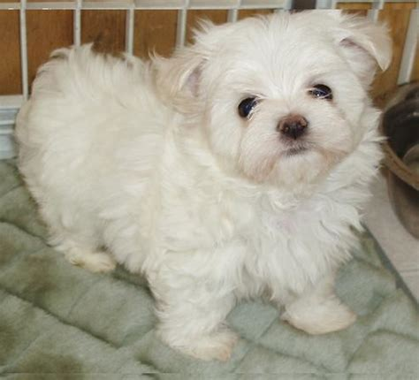 maltese puppies for sale louisiana beautiful maltese puppies ready for sale natchitoches la asnclassifieds