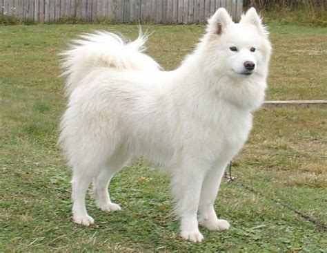Do Samoyed Dogs Shed by Dogs For With Allergies Finding A Pet That Won T