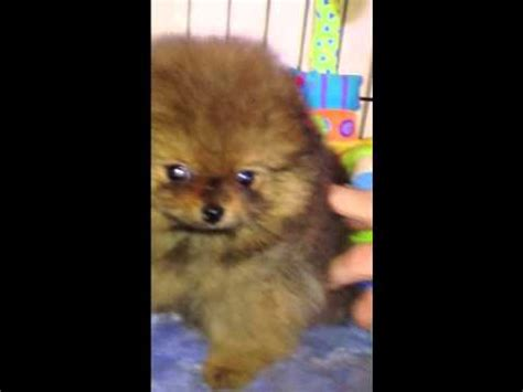 pomeranian puppies for sale in riverside ca gorgeous teacup pomeranian puppies for sale riverside ca
