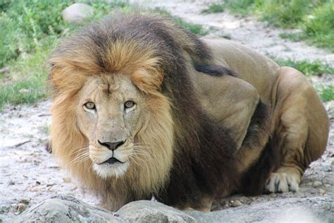 couching lion defeated adversary stopandpraytv
