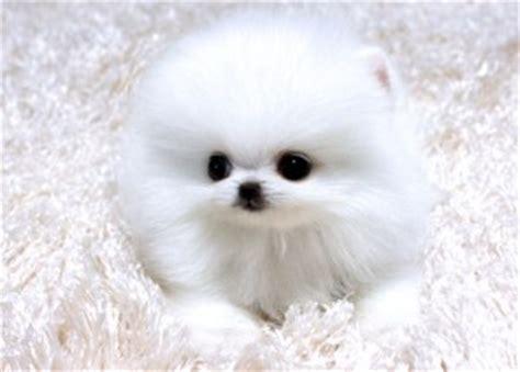 micro teacup pomeranian for adoption dogs woodbridge va free classified ads