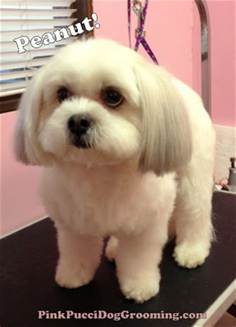 best puppy shoo for shih tzu pink pucci page 4 torrance best grooming shop specializes in japanese