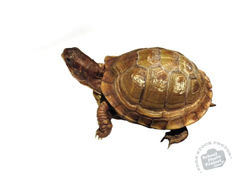 Turtle L by Tortoise Free Stock Photo Image Picture Pet Turtle