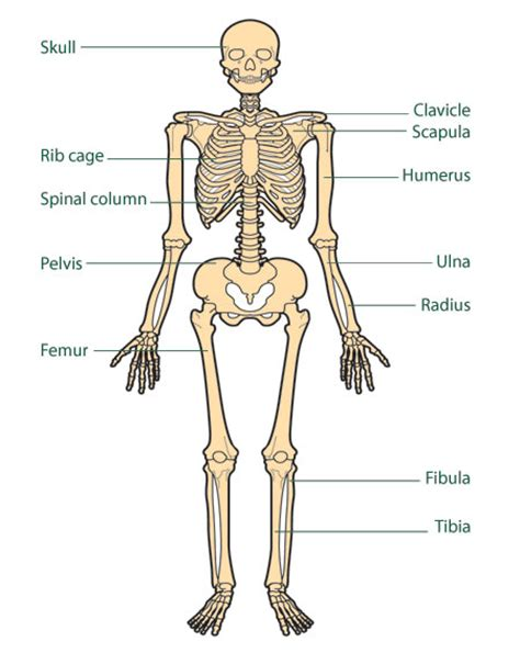 human bones diagram the bones cancer information macmillan cancer support