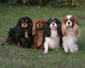 cavalier king charles spaniel colors cavalier king charles spaniel colors