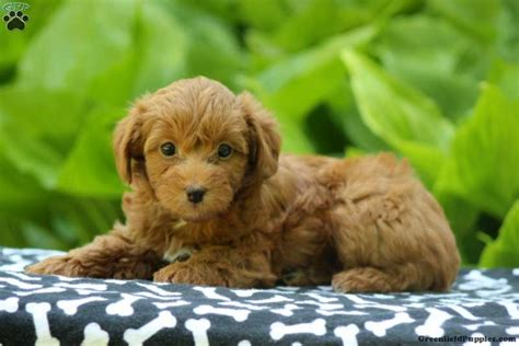 can yorkies peanut butter yorkie poo meet peanut butter a puppy for adoption
