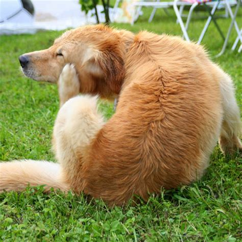 golden retriever bumps on skin skin problems and itching what s up with my pet