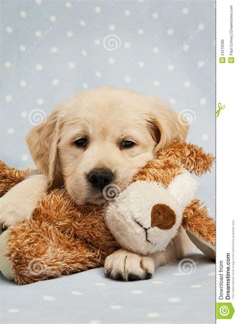 teddy golden retriever golden retriever puppy and teddy stock photo image 24216580