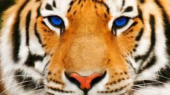 tiger face closeup 7031781