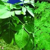 Jual Bibit Daun Kelor Bandung jual bibit kelor jual bibit tanaman dan jasa pembuatan taman