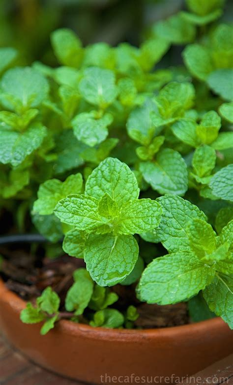 fresh planted herbs gastronomy pinterest fabulous fresh herbs a few tips tricks the caf 233 sucre