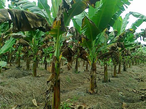 Bibit Pohon Pisang cara menanam buah pisang cara menanam dan teknik budidaya tanaman