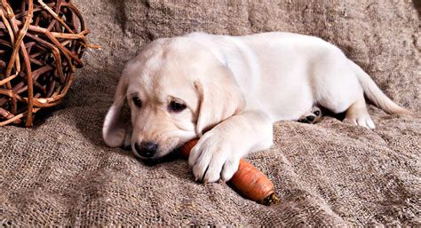 are carrots for puppies can dogs eat carrots the labrador site