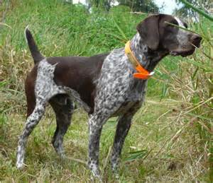 Hunting Dogs For Sale In Nj » Home Design 2017