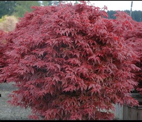 japanese maple rhode island 1 gallon free shipping