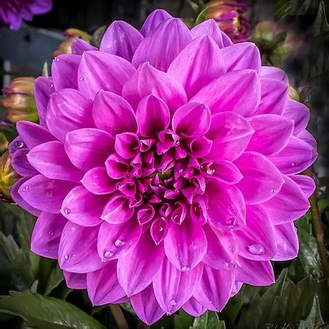Harga Bibit Bunga Dahlia tanaman dahlia ungu bibitbunga